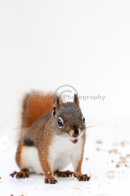 A cute, expressive red squirrel with pursed lips