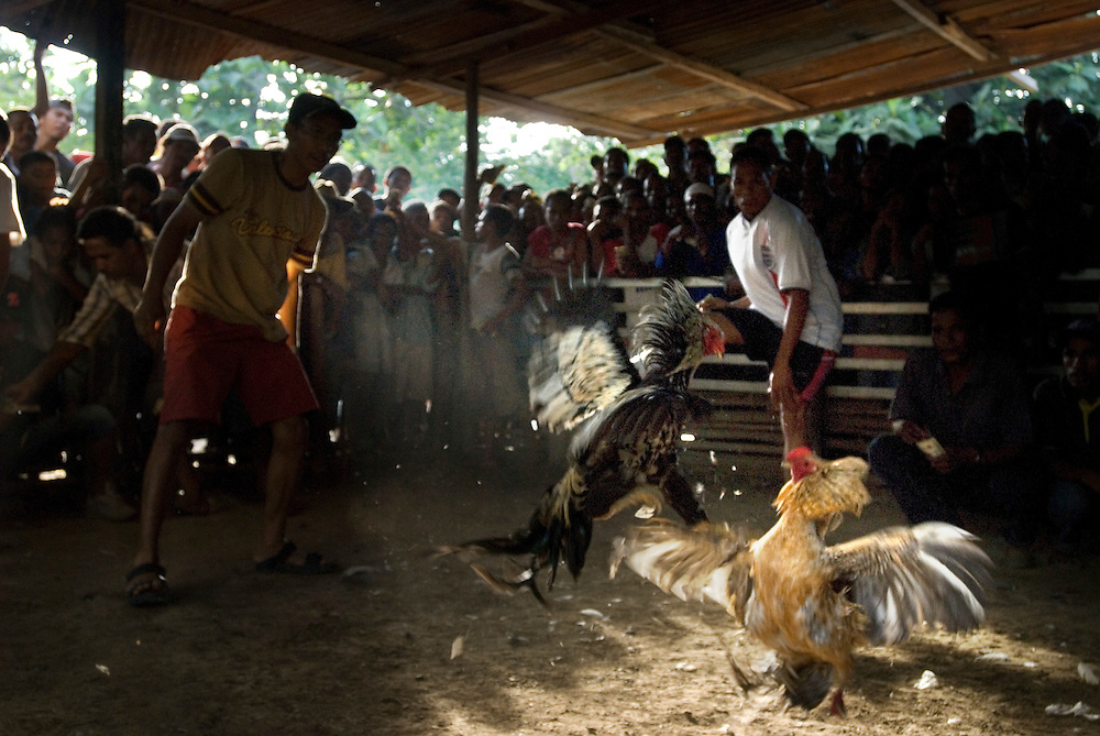 Hundreds of men stand around a purpose built ring to gamble on cockfighting. Popular among many of East Timor's men, specially bred birds can cost as much as 200USD.