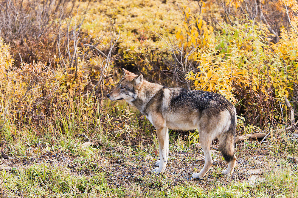 An adult wolf (Canis lupis), part of the Granite Creek Pack, pauses along the Denali Park Road to check on the pups in Denali National Park in Southcentral Alaska. Fall. Afternoon.