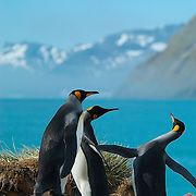 A group of male King Penguins bicker on the coast of South Georgia [Island] in the South Atlantic.
