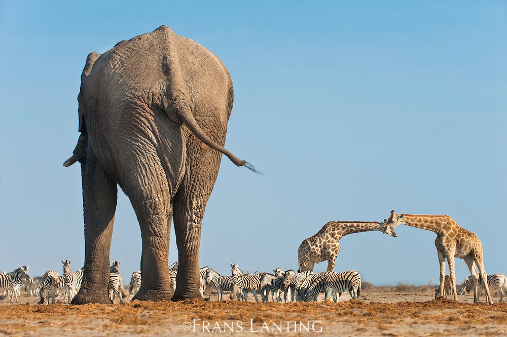 Elephant bull at waterhole, Loxodonta africana, with giraffes and zebras, Etosha National Park, Namibia