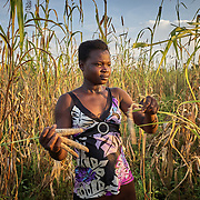 29/10/2019 / Kpatua / Ghana:<br /> Myma (16), harvest millet on their farm close to the house. She is a student and dreams of becoming a  judge.<br /> <br /> Oxfam built a solar powered pump in Kpatua to help over families become more resilient during dry seasons. Apart from community members coming to the pump twice a day, all year round, during the dry season, women use the water from the pump to farm vegetables for sale.