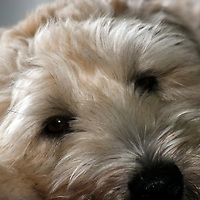 Soft Coated Wheaten Terrier being glamorous