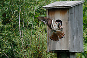 female American Kestrel feeding juveniles