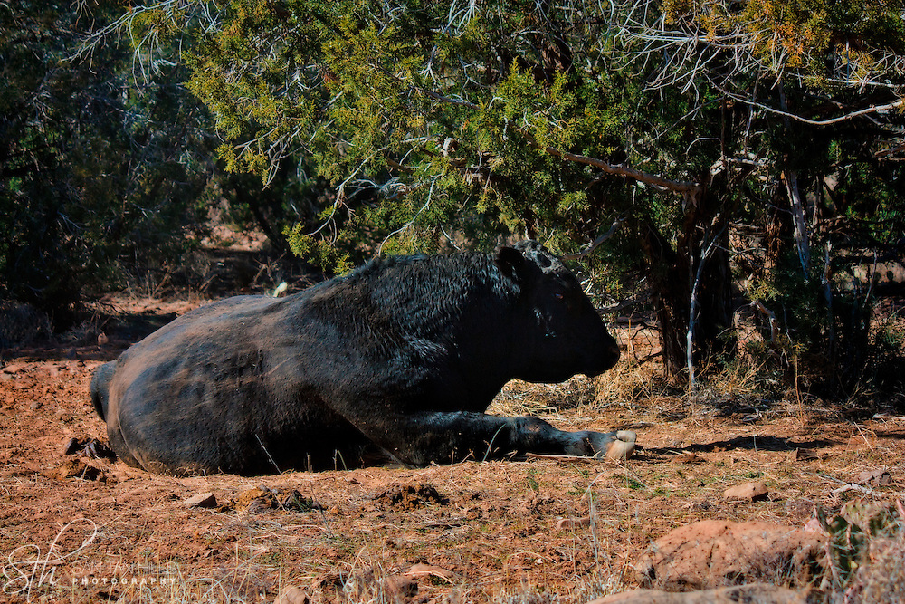 Very large cow reclining on the side of the road - along Perkinsville Road, AZ