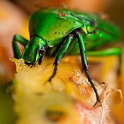 A Scarab beetle (anamalocera olivacea insularis) eating pineapple, Takanua Village ,Ming Shen, Namasiya Township, Kaohsiung County, Taiwan