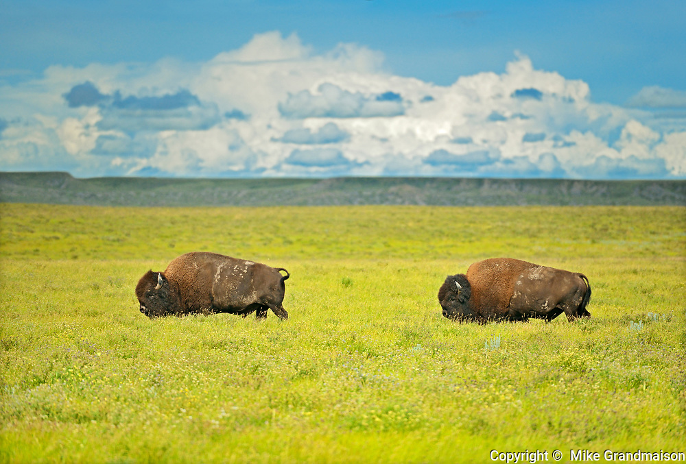 Plains bison (Bison bison) in grasslands, Grasslands National Park, Saskatchewan, Canada