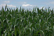 tops of corn crop against a blue sky