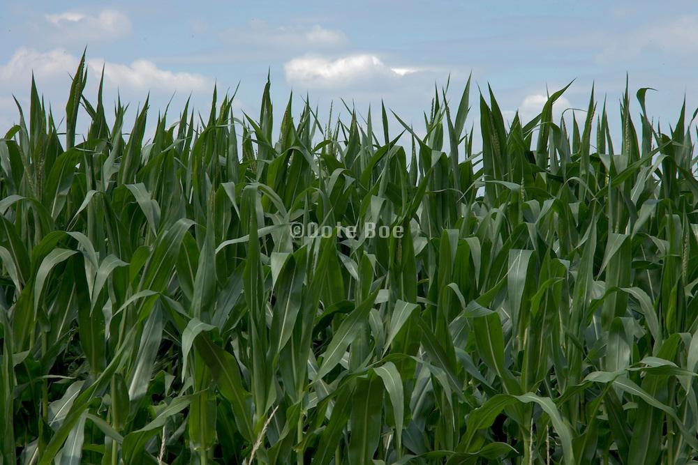 tops of corn crop against a blue sky