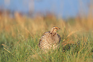 An unusual male prairie chicken/sharp-tailed grouse hybrid, performs a mating dance, known as booming, at the Fort Pierre National Grasslands in central South Dakota.