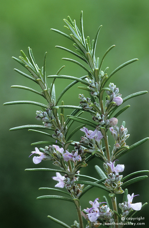 Rosemary - Rosmarinus 'Miss Jessopp's Upright'