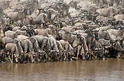 Wildebeests lining up to drink at the rim of Mara River, Kenya in July 2013.  Minutes after they all croassed the river.