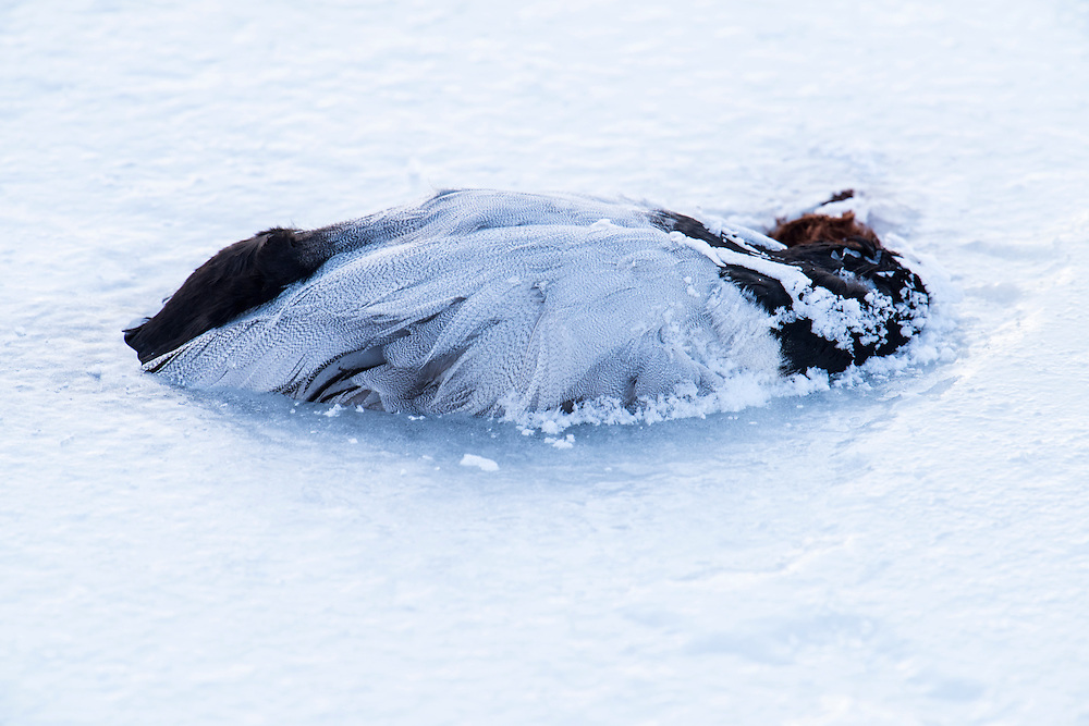 Canvasback, Aythya valisineria, male, frozen to death, Detroit River, Ontario, Canada