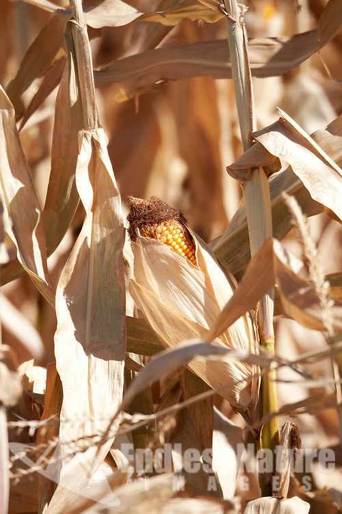 An Ear of corn on end of years corn stocks.