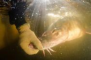 Atlantic Sturgeon<br /> <br /> Sean Landsman/Engbretson Underwater Photography