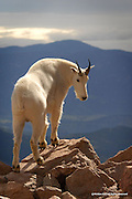 Mountain Goat<br /> Mount Evans Wilderness, Colorado<br /> <br /> Mature billies, like the one depicted in this image, are loners, except during the rut . . . <br /> and like sheep and bison, grow true horns.<br /> It is interesting to note that both billies and nannies produce horns. In fact, both sexes are so similar, it is often difficult to distinguish a male, from a female. The horns of the billy are wider at the base and more sharply curved backward than the gently curving horns of the nannie.<br /> <br /> Edition of 500