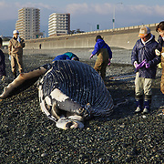 Researchers checking out humpback whale calf (Megaptera novaeangliae) that washed ashore on 3 January 2012 in Odawara, Japan. Measured 6.87 meters long and was male. Cause of death unknown. This humpback whale calf is the third smallest one recorded to date that has stranded or washed ashore in Japan. It is the third deceased calf to have been found in the 2011-2012 breeding and calving season. Members of the science community recording measurements for Japan's cetacean stranding database.