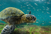 Galapagos Green Sea Turtle (Chelonia mydas agassizi) underwater<br /> GALAPAGOS ISLANDS,<br /> Ecuador, South America<br /> Endemic Subspecies