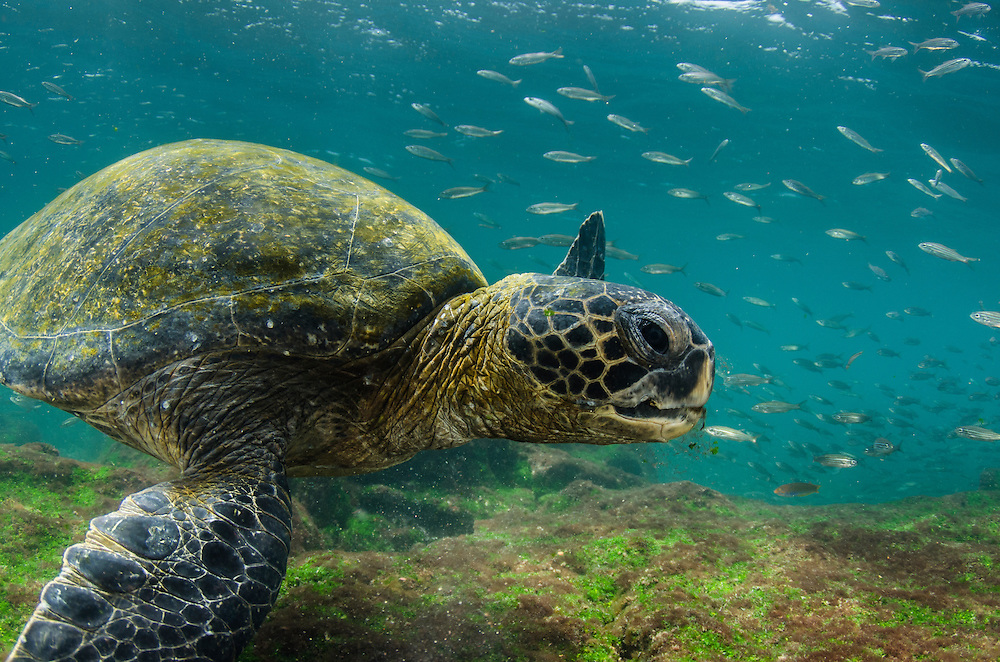 the green sea turtle draft  the green sea turtle sea turtles are large, air-breathing reptiles that inhabit tropical and subtropical seas throughout the world seven distinct species of sea turtles grace our oceans today.