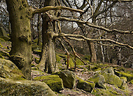 Mossy boulders and trees in Padley woodland, Peak District National Park