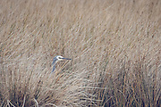 White-faced Heron at wetlands at Pauatahanui, Wellington, New Zealand