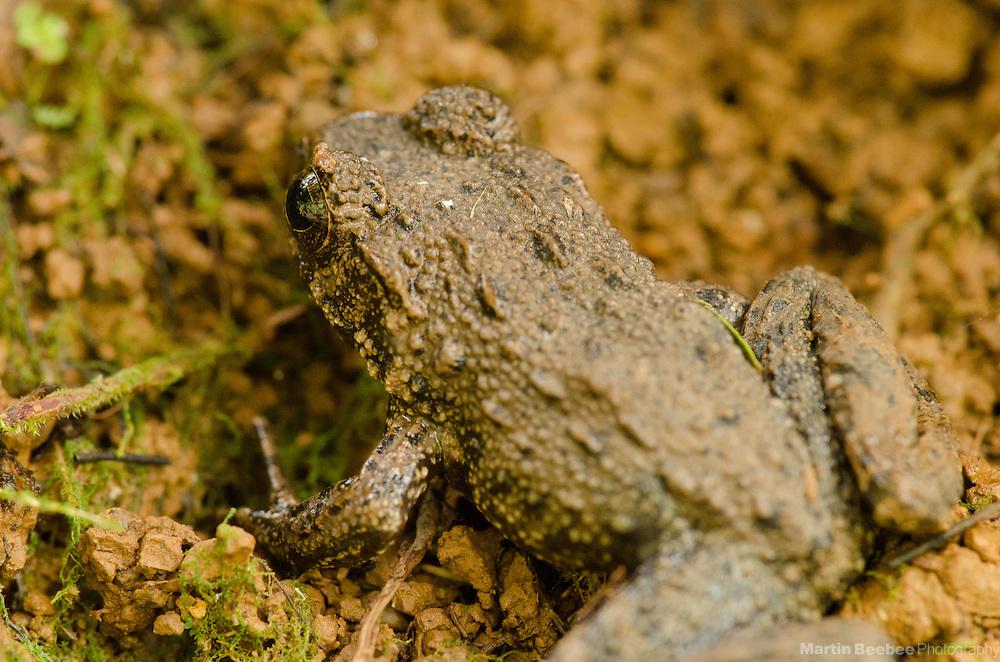 Wrinkled Frog (Rana rugosa), Lihue-Koloa Forest Reserve, Kauai, Hawaii