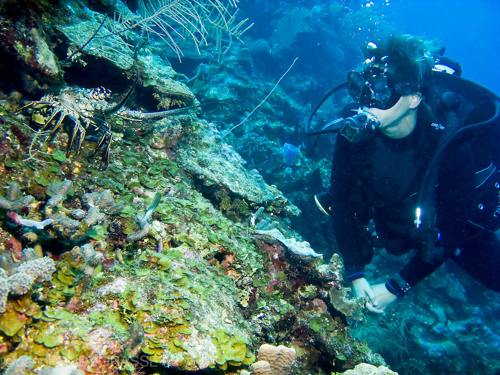 A scuba diver takes a moment to observe a spiny lobster on the reef wall near Roatan, Honduras.