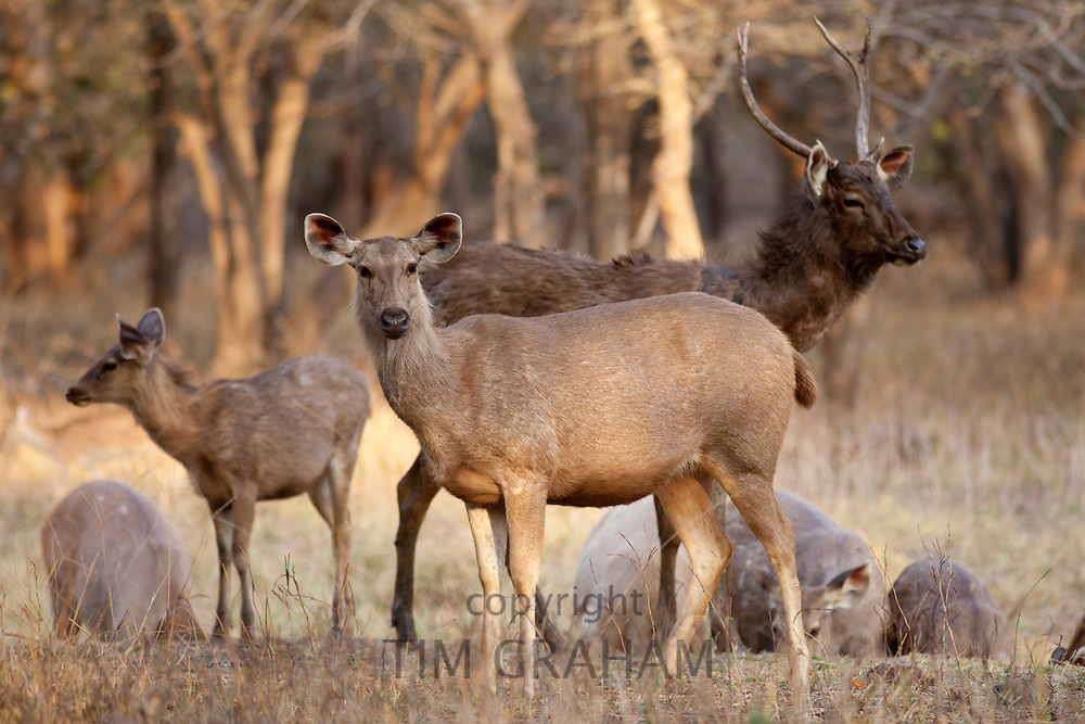 Indian Sambar, Rusa unicolor, deer herd in Ranthambhore National Park, Rajasthan, India