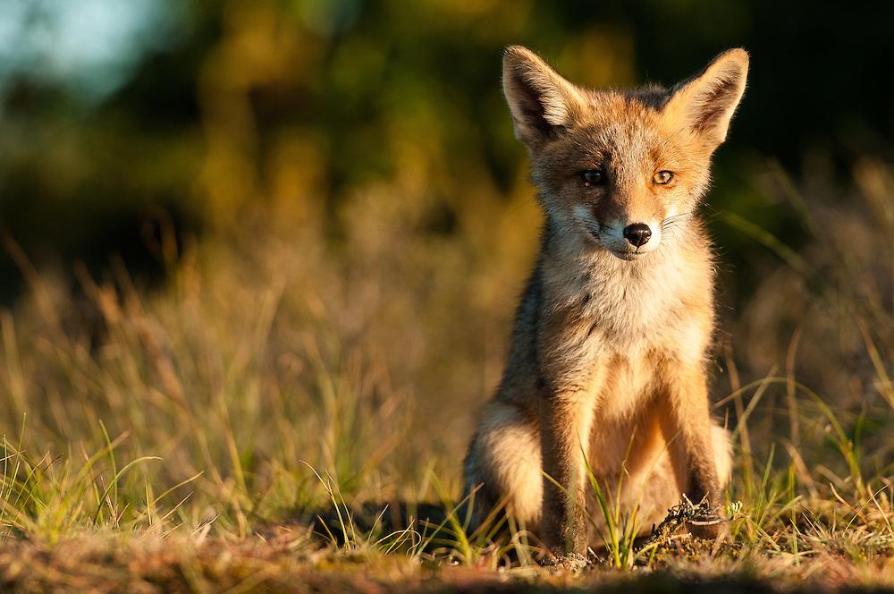 Red Fox (Vulpus vulpus) cub sitting down
