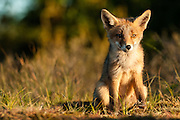 Red Fox (Vulpus vulpus) cub sitting down