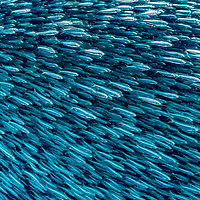 A school or shoal of sardines photographed underwater in the Philippines