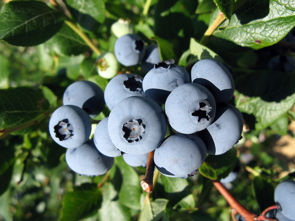 Blueberries growing on the branch at the farm.
