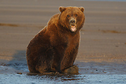 North American brown bear /  coastal grizzly bear (Ursus arctos horribilis) sow yawns while sitting on the bank of a creek, Lake Clark National Park, Alaska, United States of America