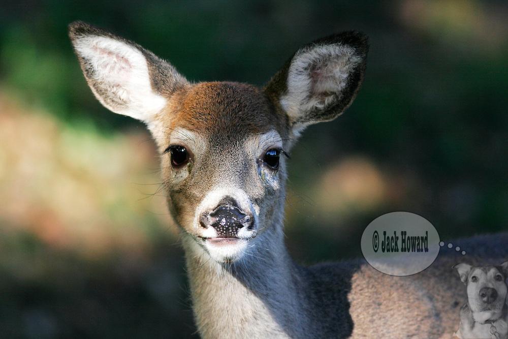 01/04/2005 - Bridgewater NJ - Duke Island Park - Whitetail deer - Odocoileus virginianus   - Whitetail deer fawn at Park...Jack Howard Photograph