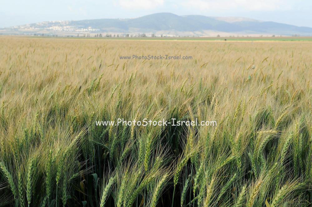 Israel, Jezreel Valley, Wheat field