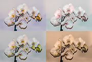 Digitally enhanced image of four White Phalaenopsis Orchid images