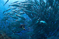 Diver and School of Bigeye Trevally