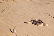 Arabian horned viper (Cerastes gasperettii mendelssohni) a venomous viper species found especially in the Arabian Peninsula.[2] and north to Israel and Iran. Photographed in Israel, Arava Desert in December