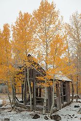 """Shack in the Aspens 5"" - Photograph of yellow leaved aspens and an old shack near the summit of Hwy 267 in Tahoe. Shot in the fall while it was snowing."
