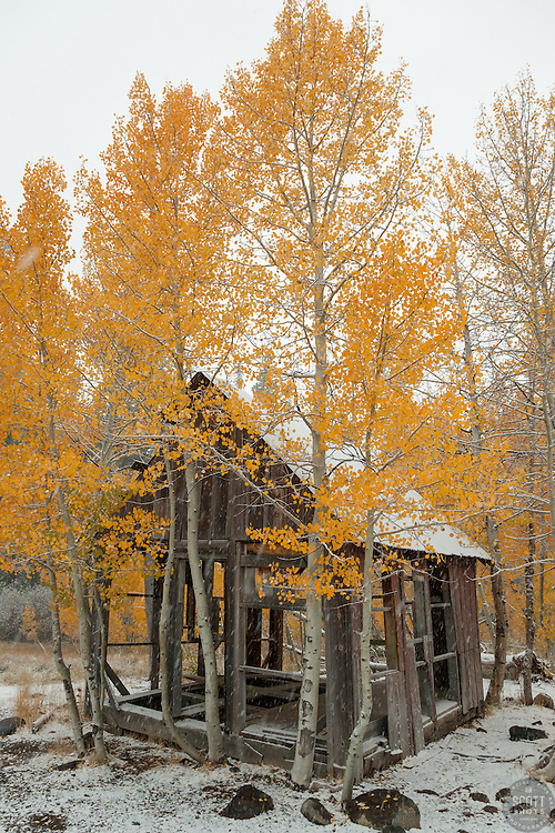 """""""Shack in the Aspens 5"""" - Photograph of yellow leaved aspens and an old shack near the summit of Hwy 267 in Tahoe. Shot in the fall while it was snowing."""