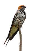 (Hirundo abyssinica) Lesser Striped Swallow, Tarangire National Park, Tanzania.