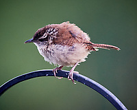 Carolina Wren. Image taken with a Nikon D5 camera and 600 mm f/4 VR telephoto lens (ISO 1600, 600 mm, f/5.6, 1/200 sec).