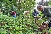 Nederland, Nijmegen, 23-6-2018Vrijwilligers  trekken in het Goffertpark de exoot de Reuzenbalsemien uit de grond. Deze exotische, geimporteerde plant bedreigd de diversiteit in flora, plantengroei en wordt in Nijmegen een verboden soort .Foto: Flip Franssen