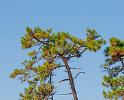 Pine tree with blue sky background Sao Jacinto Nature Reserve on the shore of Aveiro Lagoon, Portugal