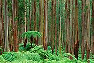 Tree ferns in eucalyptus forest, Ferntree Gully National Park, Australia