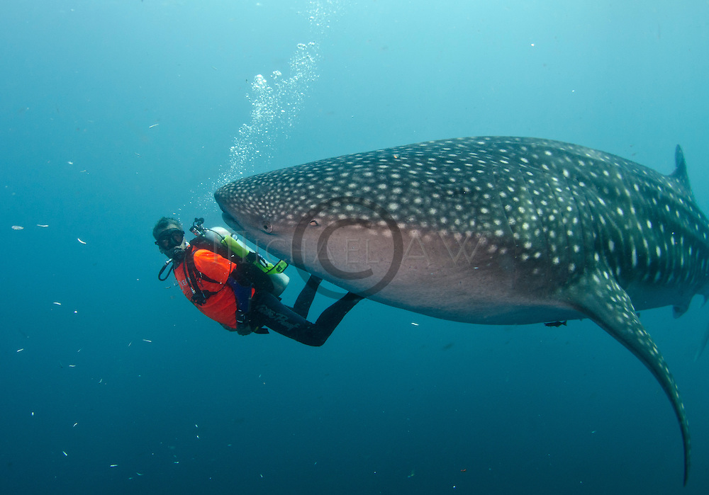 Whale shark are fouund all year round around fishing platform (bagan) at Cendriwasih Bay - the sharks year have learned to feed on fish through the fishing net or receving free handout from the fishermen. ; Rhincodon typus; slow-moving filter feeding shark; the largest living fish species; Nabire; West Papua; whale shark; whale shark fins fetch the highest price in the trade; Hong Kong