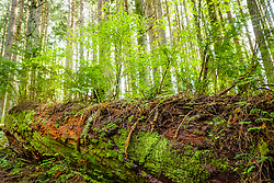 United States, Washington, Issaquah. A fallen tree, called a nurse log, supports and nourishes new growth in the woods at Tiger Mountain.