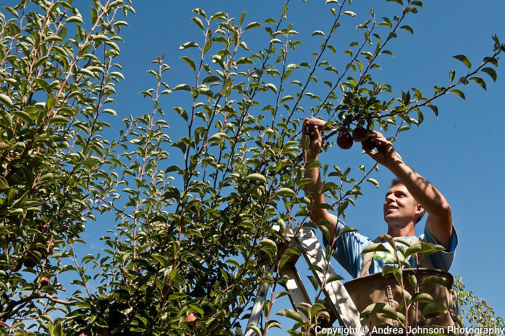 Pear harvest, Smith Berry Barn, Scholl, Willamette Valley, Oregon