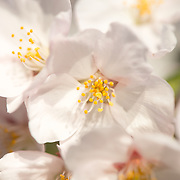 Close-up view of the white cherry blossoms in full bloom in Washington DC.