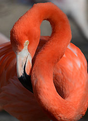 A flamingo enjoys the sunshine in the Hannover zoo, Germany, on March 6, 2013, March 6, 2013. Photo by Imago / i-Images...UK ONLY..Contact..Andrew Parsons: 00447545 311662.Stephen Lock: 00447860204379